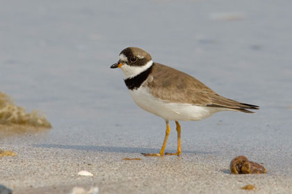 Semipalmated Plover Photo