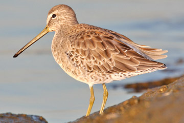 Short-billed Dowitcher Picture @ Kiwifoto.com
