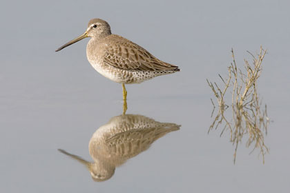 Short-billed Dowitcher Image @ Kiwifoto.com