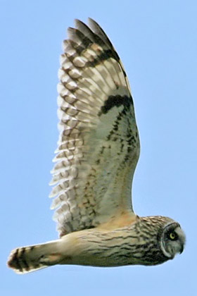 Short-eared Owl Picture @ Kiwifoto.com