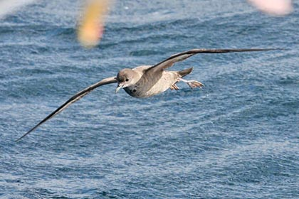 Short-tailed Shearwater Photo @ Kiwifoto.com