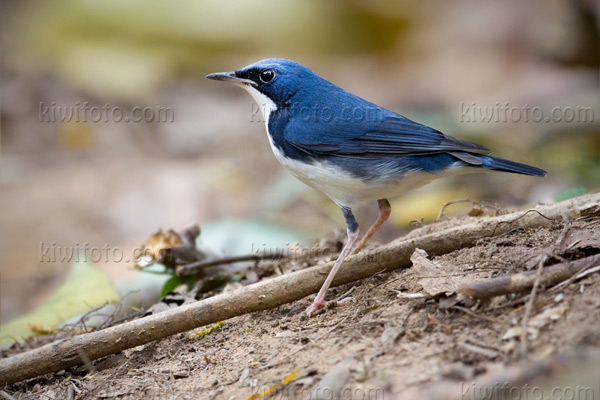 Siberian Blue Robin Photo @ Kiwifoto.com