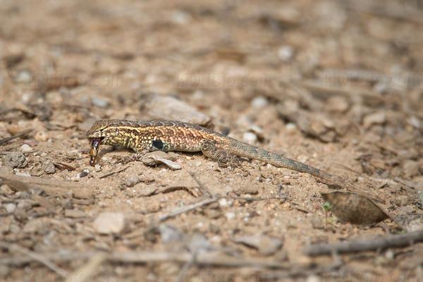 Side-blotched Lizard @ UCR Botanical Gardens, Riverside, CA