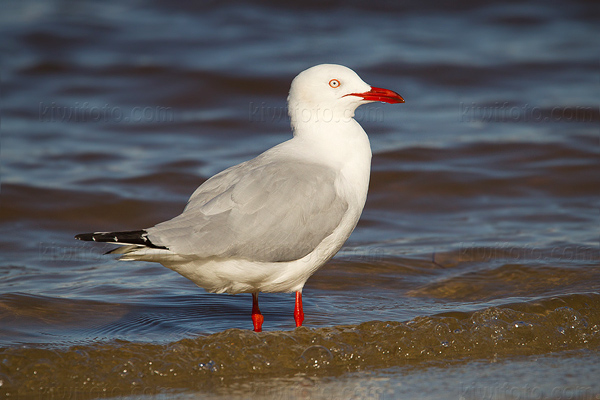 Silver Gull Photo @ Kiwifoto.com