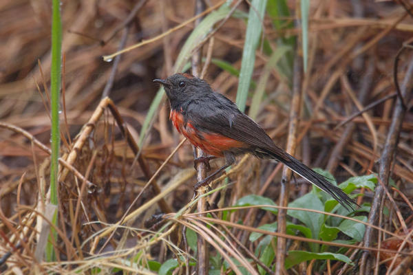 Slate-throated Redstart Picture @ Kiwifoto.com