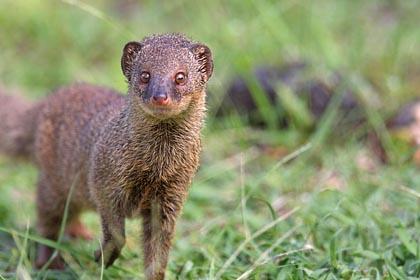 Small Indian Mongoose Image @ Kiwifoto.com