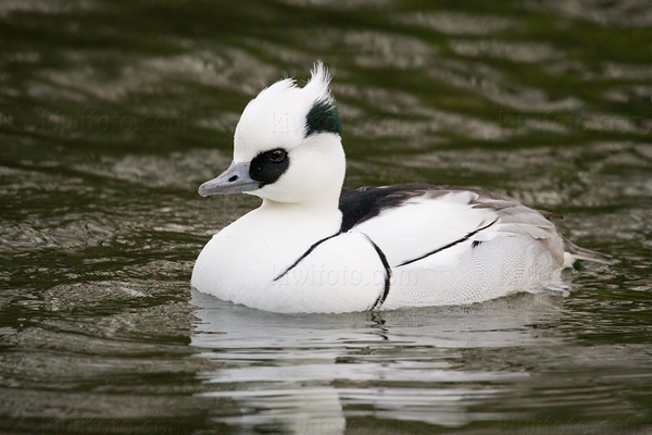 Smew Photo @ Kiwifoto.com