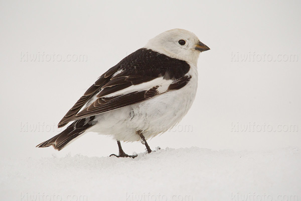 Snow Bunting Photo @ Kiwifoto.com