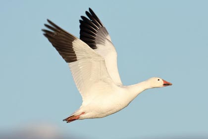 Snow Goose Photo @ Kiwifoto.com
