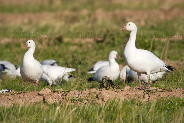 Ross's Goose (Snow Goose on right)