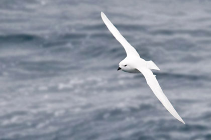 Snow Petrel Photo @ Kiwifoto.com