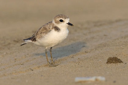 Snowy Plover Picture