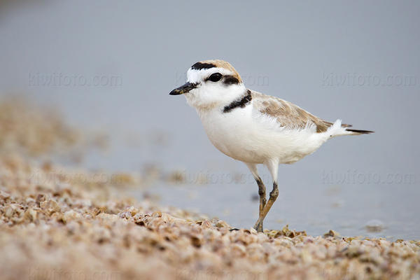 Snowy Plover @ Salt Creek, Salton Sea, CA