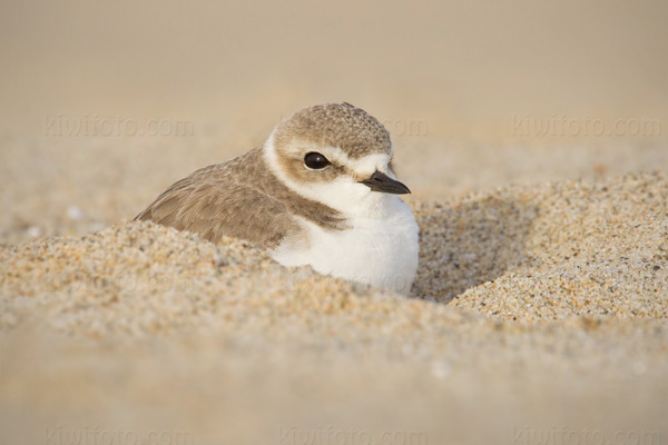 Snowy Plover Photo @ Kiwifoto.com