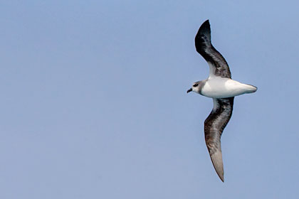Soft-plumaged Petrel Picture