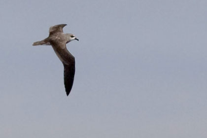 Soft-plumaged Petrel Image