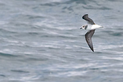 Soft-plumaged Petrel Photo