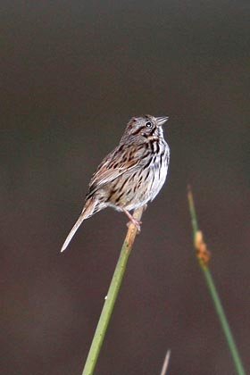 Song Sparrow Picture @ Kiwifoto.com
