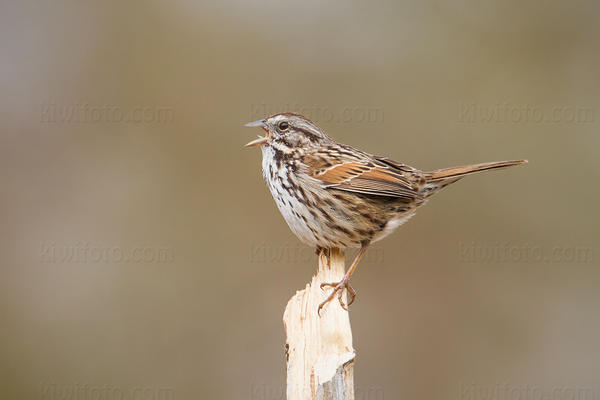 Song Sparrow Photo @ Kiwifoto.com