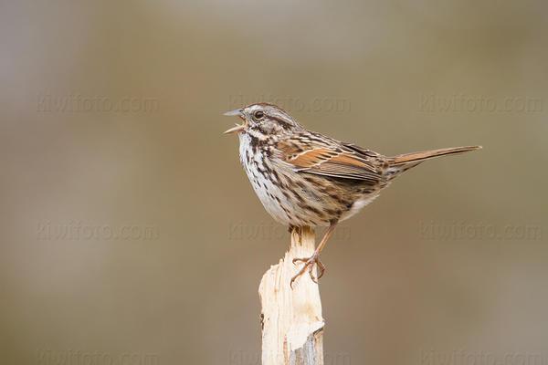 Song Sparrow @ UCR Botanical Gardens, Riverside, CA