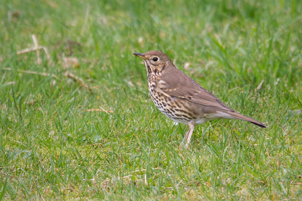 Song Thrush Picture @ Kiwifoto.com