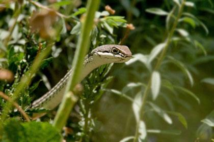 Sonoran Whipsnake