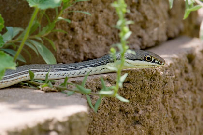 Sonoran Whipsnake Picture @ Kiwifoto.com
