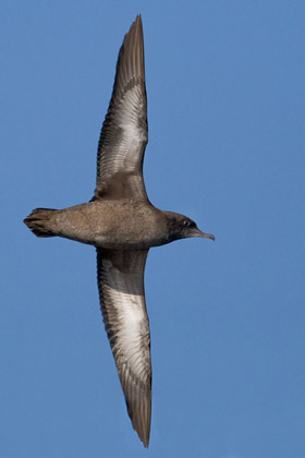 Sooty Shearwater Photo