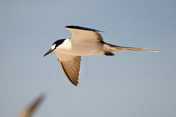 Sooty Tern Photo @ Kiwifoto.com