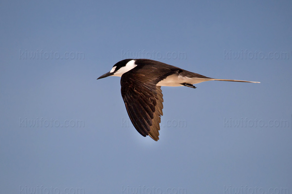 Sooty Tern Picture @ Kiwifoto.com