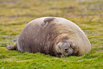 Southern Elephant Seal Picture