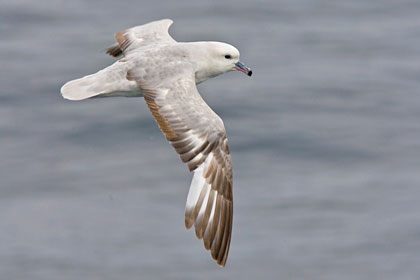 Southern Fulmar Photo