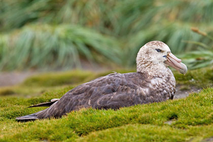 Southern Giant-petrel Image