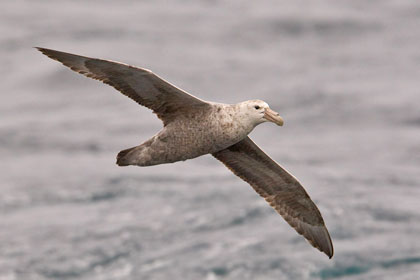 Southern Giant-petrel Picture
