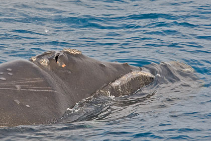Southern Right Whale Picture @ Kiwifoto.com