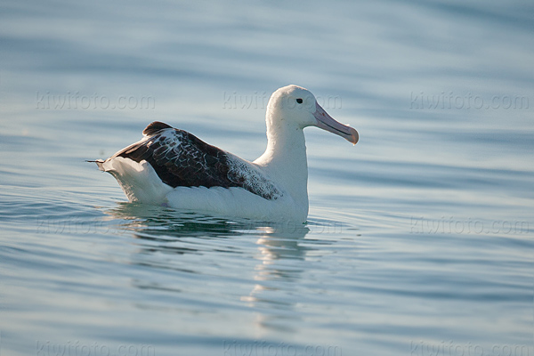 Southern Royal Albatross Photo @ Kiwifoto.com