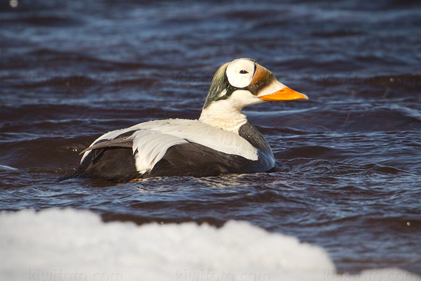 Spectacled Eider Photo @ Kiwifoto.com