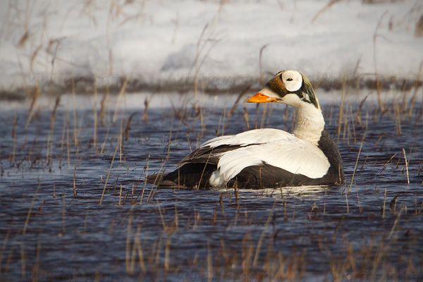 Spectacled Eider Picture @ Kiwifoto.com