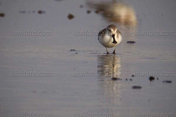 Spoon-billed Sandpiper Photo @ Kiwifoto.com