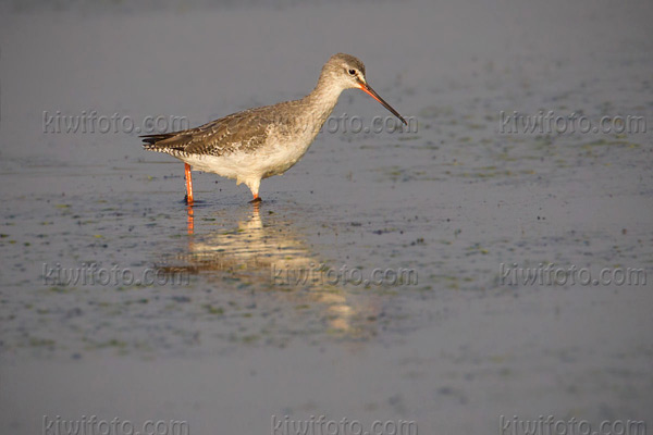 Spotted Redshank Photo @ Kiwifoto.com