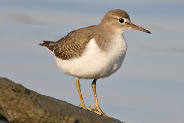 Spotted Sandpiper Photo @ Kiwifoto.com
