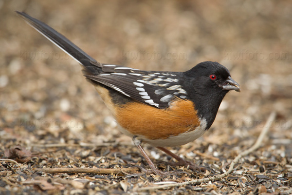 Spotted Towhee Photo @ Kiwifoto.com