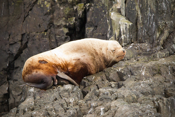 Steller Sea Lion Photo @ Kiwifoto.com