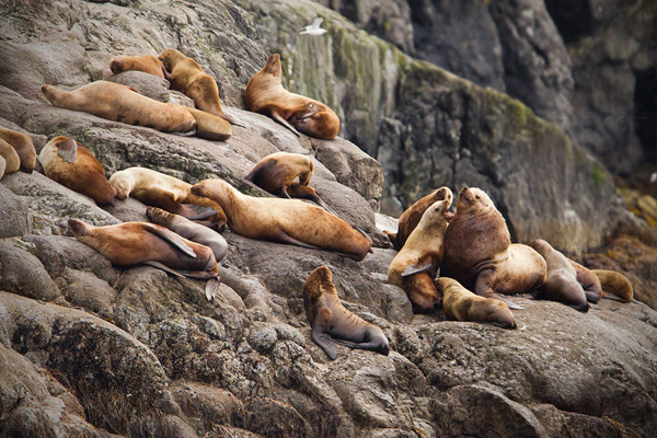 Steller Sea Lion Picture @ Kiwifoto.com