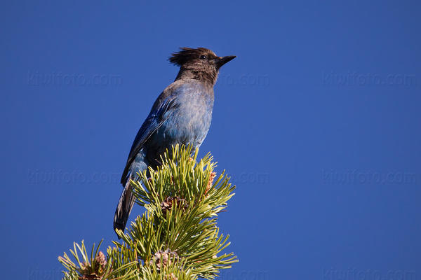 Steller's Jay @ Tahoe Meadows, Lake Tahoe, NV