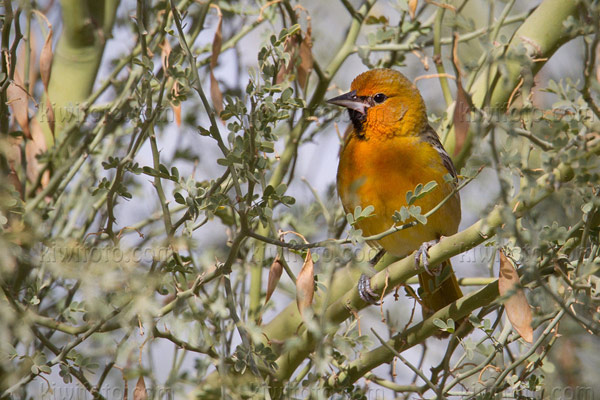 Streak-backed Oriole Picture @ Kiwifoto.com