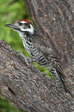 Strickland's Woodpecker Photo @ Kiwifoto.com
