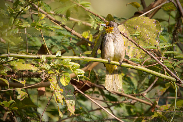 Stripe-throated Bulbul Photo @ Kiwifoto.com