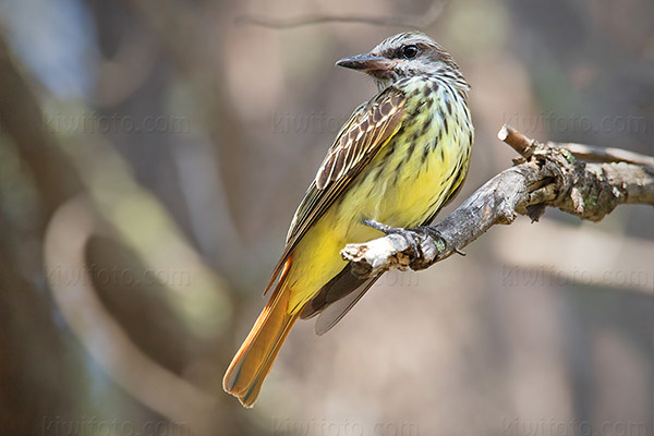 Sulphur-bellied Flycatcher Picture @ Kiwifoto.com