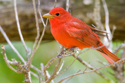 Summer Tanager Photo @ Kiwifoto.com